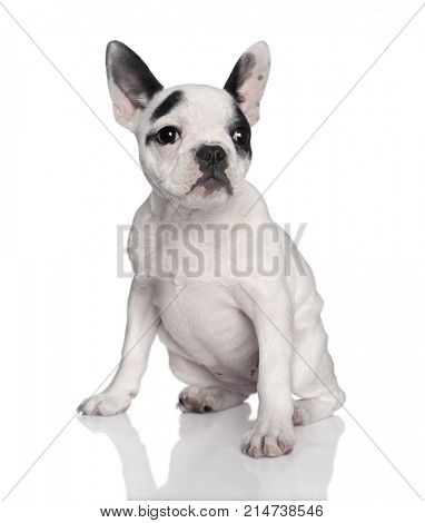 Portrait of French bulldog in front of white background, studio shot