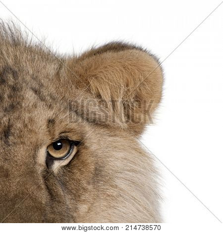 Cropped view of lion, Panthera leo, 9 months old, in front of a white background, studio shot