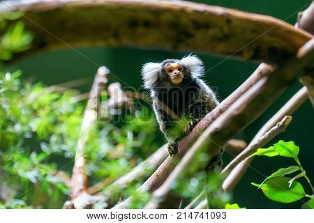 Common marmoset or Callithrix jacchus is a New World small monkey