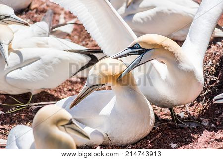 Couple Pair Of White Gannet Bird Mating Reproducing Sex Closeup With Beak, Bill Grabbing On Bonavent