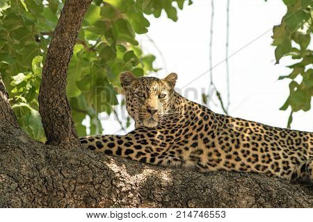 African Leopard (panthera pardus) looking content while resting