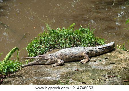 Freshwater crocodile in the crocodile farm at Sarawak Malaysia