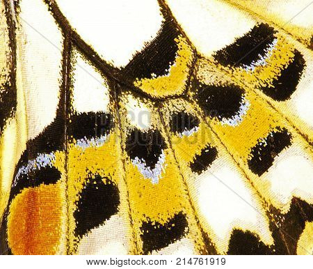 Fragment of a wing of the lime swallowtail butterfly Papilio demoleus. The wing has a pattern of white, yellow and black spots. Butterfly wing is devided into cells with veins, and covered with scales