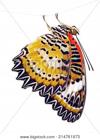 The leopard lacewing butterfly, Cethosia cyane, is hanging on a fiber. The bright orange butterfly is isolated on white background. Marking on the wings look like lace or ligature script.