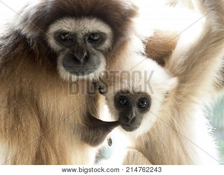 A female lar gibbon ape, Hylobates lar, with her baby. The young monkey is sucking his mother. The apes are looking at camera. They have expressive eyes, emotional snouts and attractive fuzzy grey fur