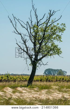 A Lonely Tree, Vineyard And Feather Gras