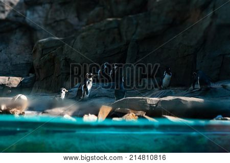 Big family of penguins, many cute little animals on the rocks near the water, flightless birds on the stony bank