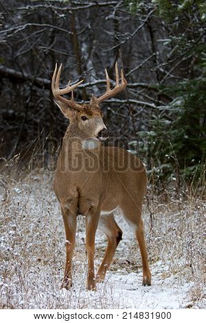 White-tailed deer buck feeding in the winter snow