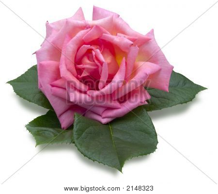 Romantic Pink Rose