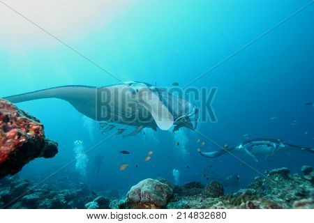 Manta Ray Diving Underwater Galapagos Islands Pacific Ocean