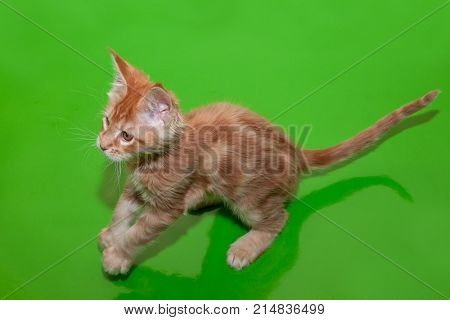 Maine coon kitten isolated on a green background. Two month old.