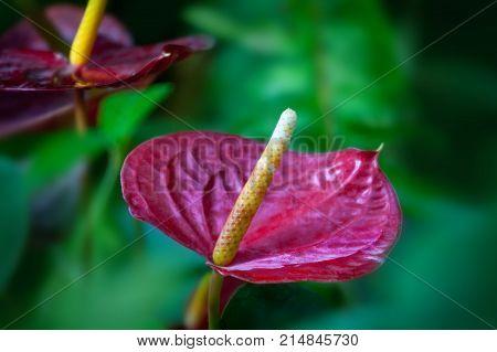 Close up of Red Anthurium flower in botanic garden (Anthurium andraeanum Araceae or Arum)