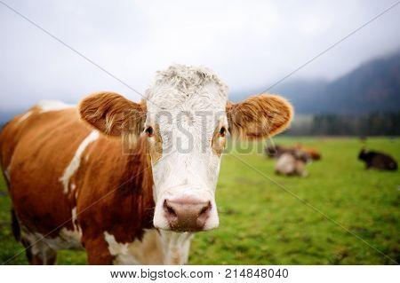 Cow In European Meadow Near Famous Castle Neuschwanstein. Bavaria, Germany (deutschland)