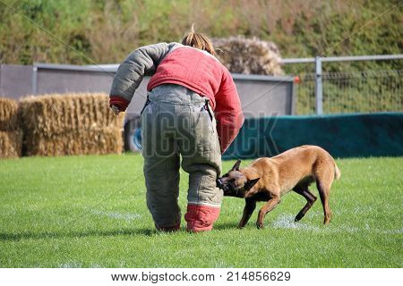 the dog malinois must watch the suitcase and attack the attacker for the canine sport contest