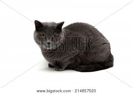 cat breeds Scottish Straight isolated on white background. horizontal photo.