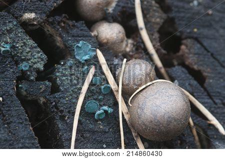 Chlorencoelia versiformis and Ascocoryne sarcoides slime mould