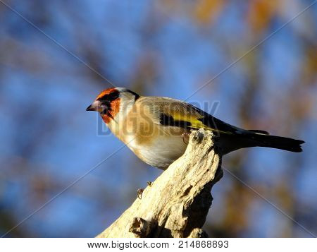 Goldfinch as seen during sunny late autumn day