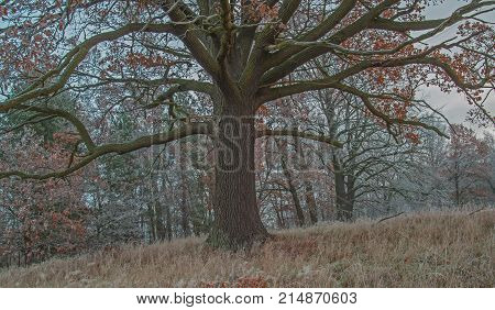 An oily, broad oak. Big, old, old oak tree. Thick, gray porous trunk and thick boughs. It's late autumn. On the branches of remnants of brown, dry leaves. It grows on a meadow. The grass is yellow. It's a frosty morning. Branches of trees and grass cover