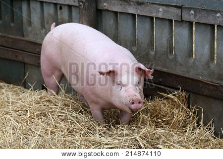 Young domestic peaceful happy pig run in the pigpen