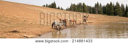 Herd of wild horses at watering hole in the Pryor Mountains Wild Horse Range in the states of Wyoming and Montana United States