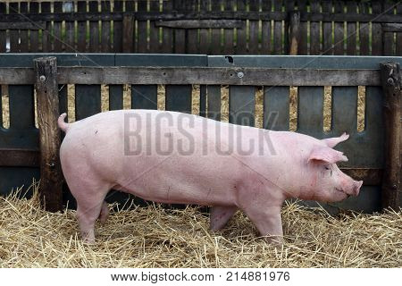Pink colored domestic pig breeding at animal farm. Beautiful young pig sow standing on fresh hay at bio farm rural scene