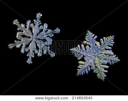 Two snowflakes isolated on black background. Macro photo of real snow crystals: small stellar dendrites with long elegant arms, complex, ornate shape, glossy relief surface and fine hexagonal symmetry.