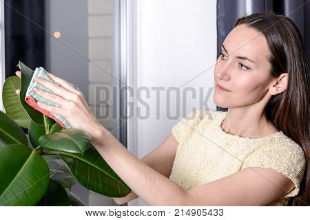 The Young Woman Wipes The Dust From The Green Leaves Of Ficus Microfiber. Care Of Indoor Plants.