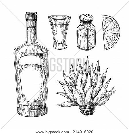Tequila bottle, blue agave, salt shaker and shot glass with lime. Mexican alcohol drink vector drawing. Sketch of shot glass cocktail with citrus fruit slice. Engraved illustration for label, icon, bar or restaurant menu.