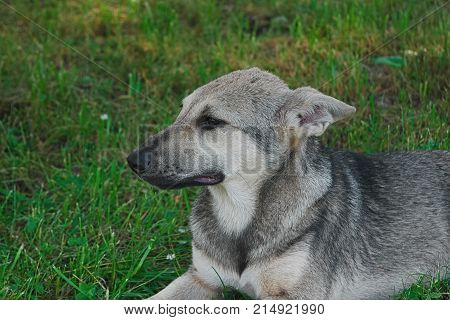 Puppy Mongrel Lying On Grass