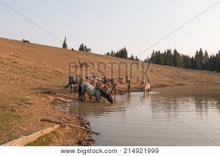 Thirsty herd of wild horses drinking at watering hole in the Pryor Mountains Wild Horse Range in the states of Wyoming and Montana United States