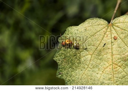 Queen Of Weaver Or Green Or Orange Ant Resting On Green Leaf