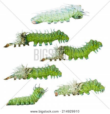 Isolated Molting Caterpillar Stage Of Atlas Butterfly ( Atlas; Attacus )  On White With Clipping Pat