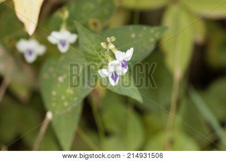 Flowers Of Justicia Striata