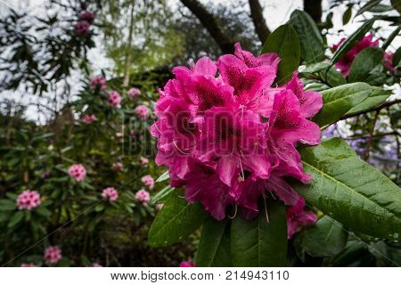 Rhododendron bloom in the Portland's Crystal Springs Rhododendron Garden