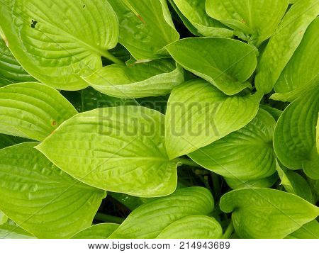 Close up of green hosta leaf plantain lily foliage background.