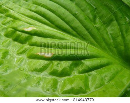 Close Up Macro Detail Of Wet Green Hosta Leaf