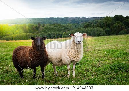 Black and white sheep together in the meadow with green grass and sunshine. They are looking into the camera.