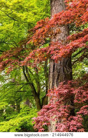Japanese Maple tree in Portland's Crystal Springs Rhododendron Garden, Oregon