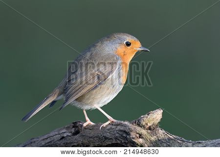 A close up portrait of a robin perched on a branch and looking inquisitively to the right