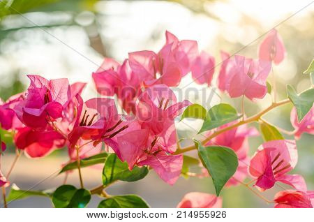Bougainvillea: The Magenta Color Flower In The Summer