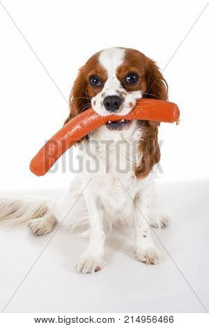 Dog with meat treat, sausage. Dog food with cavalier king charles spaniel. Trained pet photo. Animal dog training with food. Cute Spaniel photo for every concept. Hungry dog illustration on isolated white background. Cute.