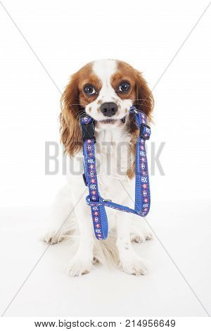 Trained cavalier king charles spaniel studio white background photography. Dog with harness waiting to walking time. Dog holding leash harness for walk.
