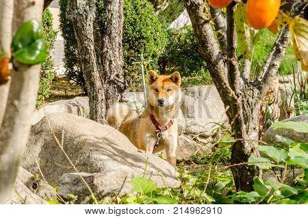 Dog (Akita dog or akita inu) in the house garden