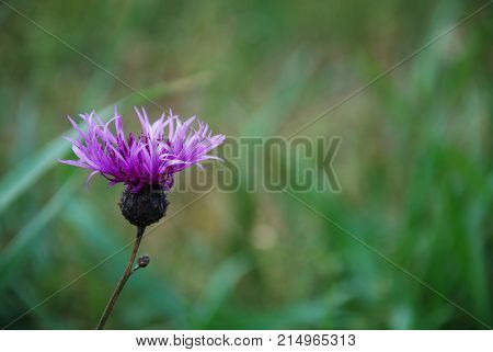 Purple flower head close up by a natural green background