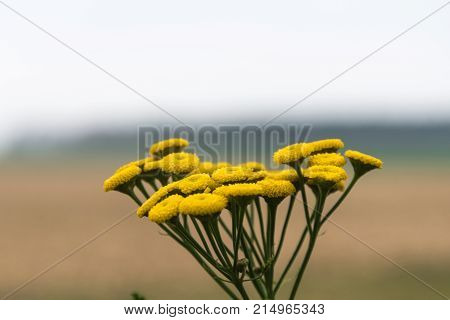 Yellow common tansy flower close up in a blurred landscape