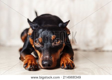 dwarf pincher lies on the floor on a white background studio portrait of a dog