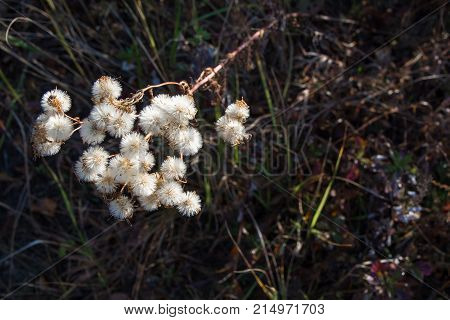 Fluffy inflorescence of autumn herb. White fluffy balls.