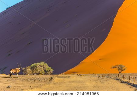 Oryx gazelle of saber-bug antelopes. Sharp border of light and shadow over the crest of the dune.