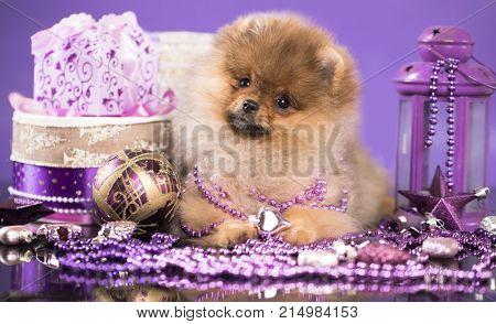 Christmas dog spitz  New Year's puppy