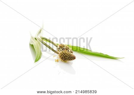 Healthy plantago plant with leaves isolated on white backgroud. Healing herb. Medical plant. Ribwort plantain narrowleaf plantain English plantain ribleaf and lamb's tongue. poster